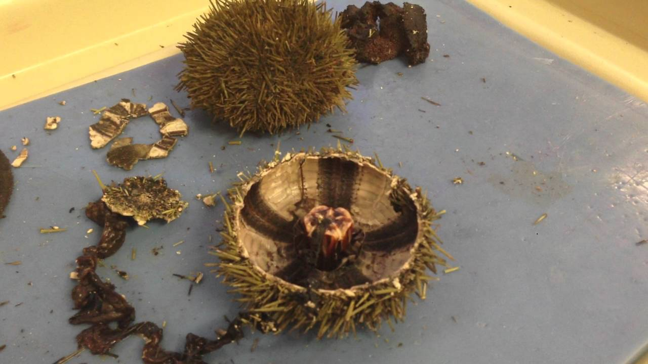 Sea Urchin & Sand Dollar Dissection part1 - YouTube