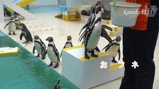 お隣で行われているアザラシショーの後にペンギンショーが始まります。 ...