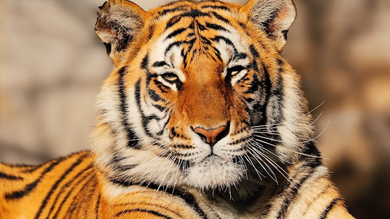 tiger - photo #22