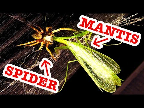 Praying Mantis Spider Attack Grey House Spiders & Bindi Redback Educational Video - 동영상