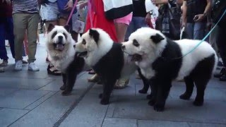 Latest Canine Trend In China Panda Dogs Dogtime