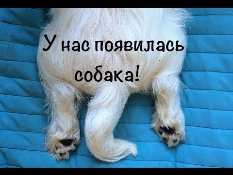 У нас появилась собака! // Вест хайленд уайт терьер