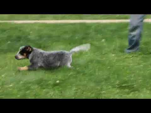 Blue Heelers For Sale : Blue heeler puppies for sale louise reiff youtube