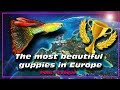 The Most beautiful guppies fish in Europe. Guppy fish ✔