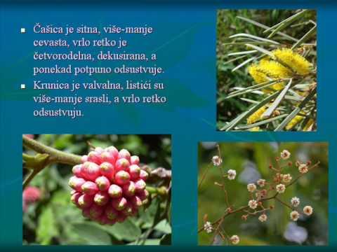 Stefan Luketa - Podfamilija Mimosoideae