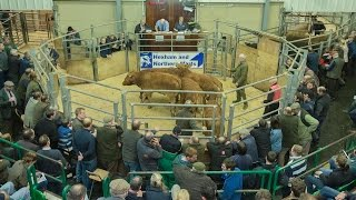 hexham mart oct 30th 2014 5 limousin x steers av 10 mths old sell for 1030 per hd