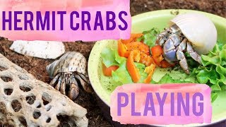 My Hermit Crabs Playing | Hermit Crab Playtime Climbing & Exploring