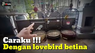 Download lagu CARAKU PROSES LOVEBIRD BETINA DARI BAHAN AGAR JEDA RAPAT NAGEN MINOR