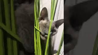 LIAM Devon Rex One Eyed Cat / Hides Behind... Part 3 / Sweet Tips