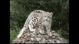 Snow leopard spotted with cub in SW China