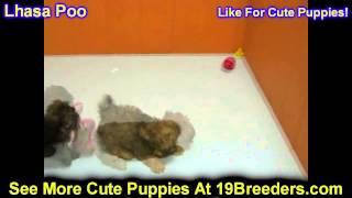 Lhasa Poo, Puppies, For, Sale, In, Philadelphia, Pennsylvania, Pa, Borough, State, Erie, York