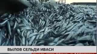 Вылов сельди иваси. Новости. 21/09/2016. GuberniaTV