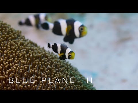 Cooperative clownfish - Blue Planet II: Episode 3 Preview - BBC One