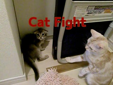 Cat attack威嚇されておもらしした子猫ソマリ