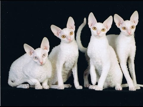 Cornish Rex White. International cat show Winner Cat (FIFe) 2014