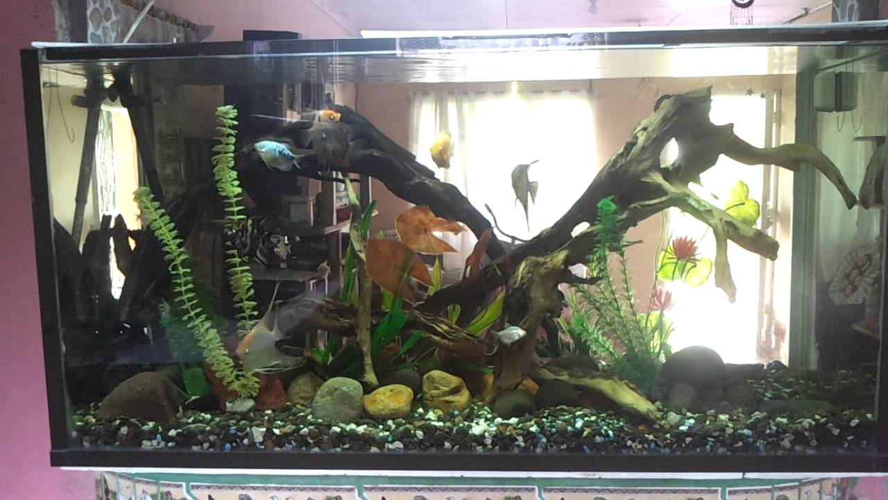 Acuario comunitario de peces ngel y severum youtube for Modelos de estanques para peces