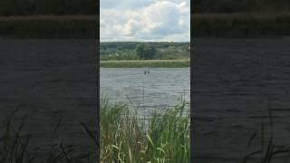 лоси плавают в арбековских озерах