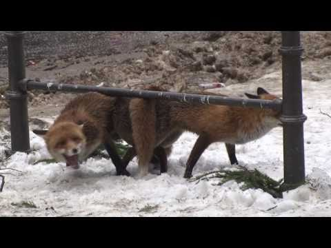 Kopulierende Füchse - mating red foxes   FunnyCat.TV