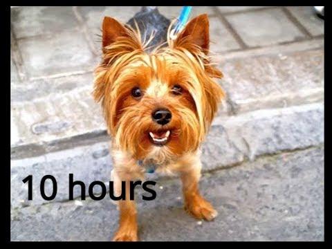 Small Dog Barking 10 hours