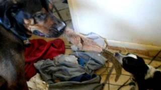 Duke And Roscoe Mastiff Rottweiler Cross Playing With Chihuahua Cross