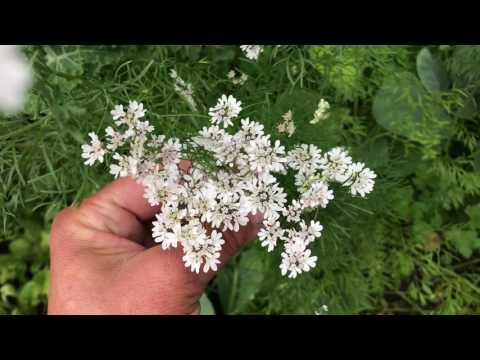 Koriander odla koriander och få goda korianderplantor och vad gör man när koriandern går i blom