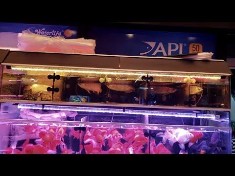 ASIAN AROWANA Aquarium Fish Market