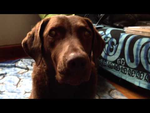 Lola Chesapeake Bay Retriever Talks