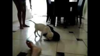 Labrador X Rottweiler