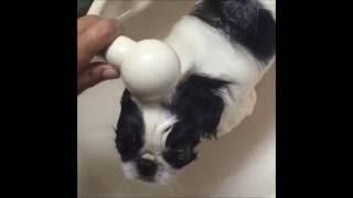 狆のシャンプー動画.
