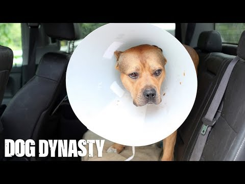 Super Pit Bull Ace Undergoes Surgery | DOG DYNASTY