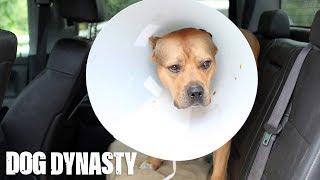 Super Pit Bull Ace Undergoes Surgery | DOG DYNASTY