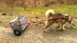Dogs: Alaskan Malamute TRAINING with DIY dog cart