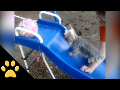 Yorkie Tries His Hardest to Climb Up a Slide