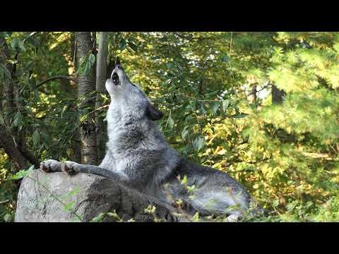 Beautiful Wolf's Autumn Howl
