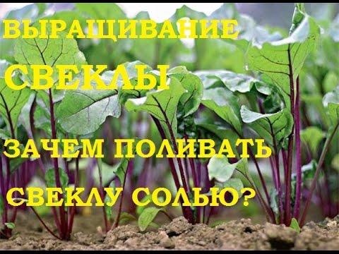 Выращивание свеклы. Зачем поливать свеклу солью? И немного о чесноке!