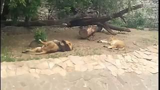 смешные  животные львы устали