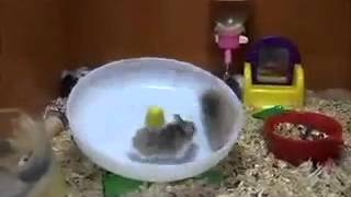 Hamsterrad Extrem 2 Hamster 1 Rad