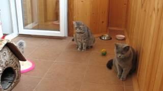 Британского котенка встречают взрослые кошки