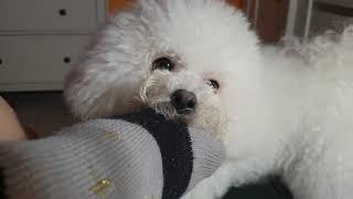 ВЕСЕЛОЕ НАПАДЕНИЕ СОБАКИ! Собака рычит, смешная белая французская болонка Бишон фризе играется.