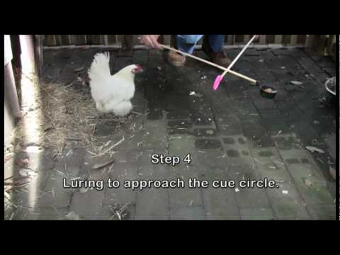 Operant Conditioning - Training a New Complex Behaviour in a Chicken - Snowy