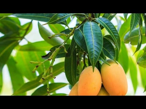 BOIL-THESE-LEAVES-AND-SAY-GOODBYE-TO-DIABETES-WITHOUT-TAKING-ANY-MEDICATION