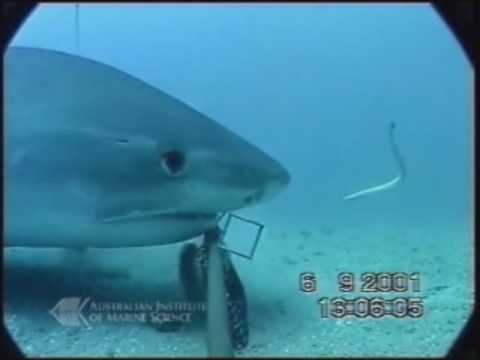 ヘビに忍び寄るサメ