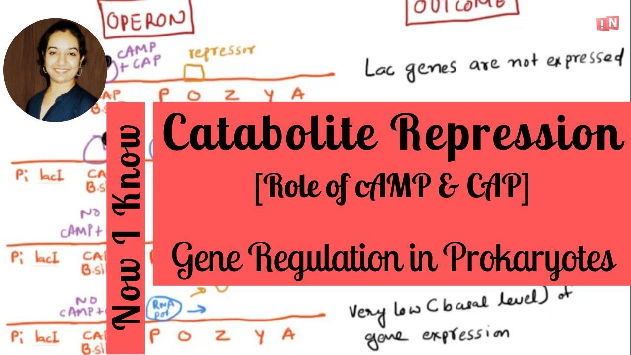3a2060394cf Catabolite Repression – Positive Control of Lac Operon - YouTube