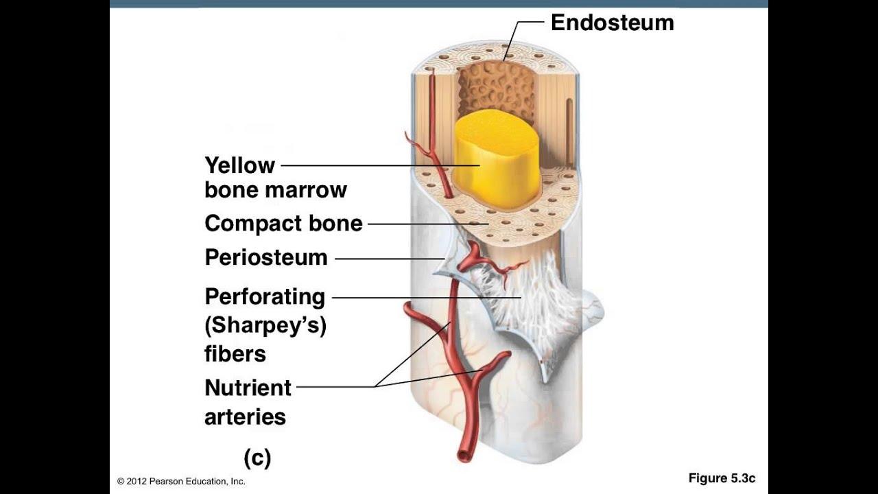 Basic Bone Anatomy