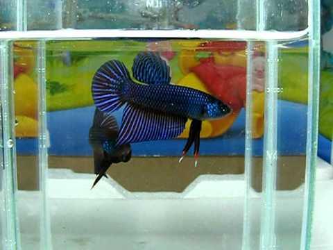 ปลากัด ลูกทุ่งอิสาน Betta Smarigdina By HIANOI-VOL.  1