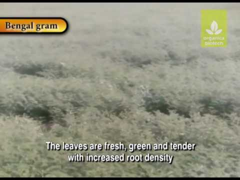 Effects of Magic Gro Super use in Bengal Gram
