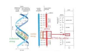 Biochemie 7 DNA: Het verband tussen de basenvolgorde in DNA en de aminozuurvolgorde in het eiwit
