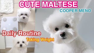Cute Maltese Dog Taking Weight as a Daily Routine | Clever Puppy Loves To Keep Fit |  Cooper Meno