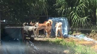 呉の海岸通りの山手の空地で野良犬の集団に遭遇、雌犬の順番守れと言わ...