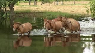 Pecuaristas temem super-cheia no Pantanal e adiantam retirada do gado